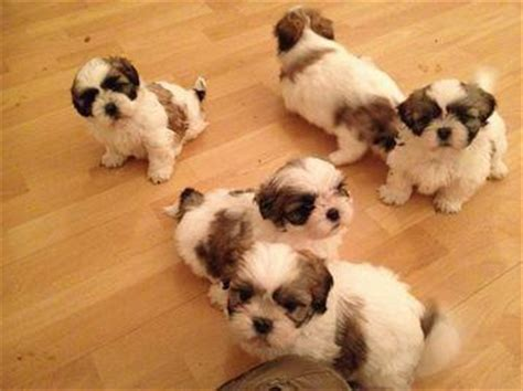 San Antonio Puppies For Sale