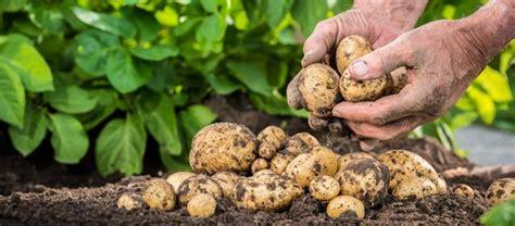 Kartoffeln Richtig Lagern 4999 by Kartoffeln Richtig Ernten Und Lagern Bzfe