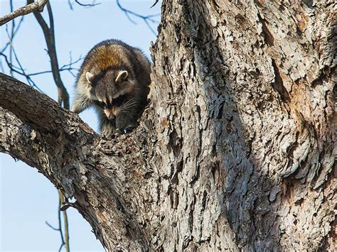 how to a coon to tree a raccoon coon up a tree www scliving coop