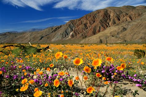 desert flowers desert wildflowers san diego travel blog