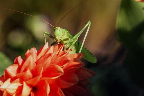 imagenes de saltamontes verdes grasshopper green and yellow 183 free stock photo