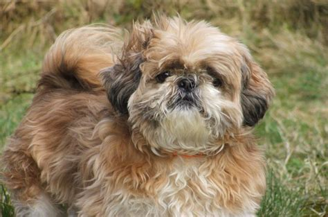 shih tzu of war shih tzu breeds 101 temperament and interesting history of shih tzu