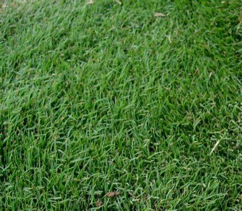 grass turf pinon arizona best 17 best ideas about lawn grass types on pinterest types