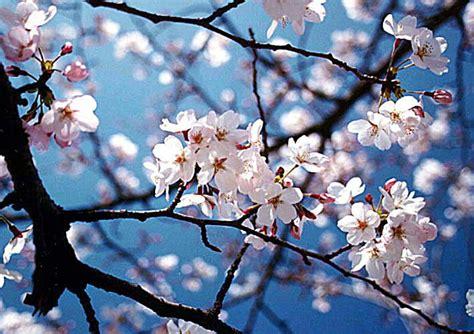 background bunga sakura the gallery for gt bunga sakura wallpaper