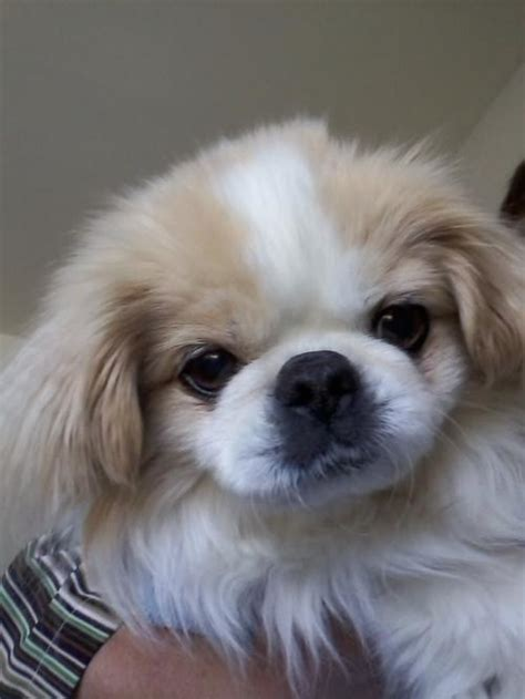 japanese chin puppies for adoption adoption adoptable japanese chin toronto on canada m1p 1a1