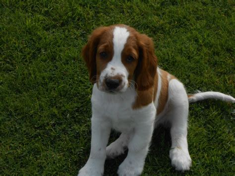 springer spaniel puppies for sale in pa pin springer spaniel wirehaired pointing griffon hound on