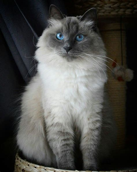 Recommended White Avel blue siberian cat www imgkid the image kid has it