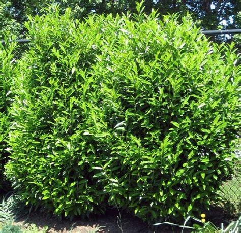 Skip Laurel Plant Common Laurel Plants On Demand