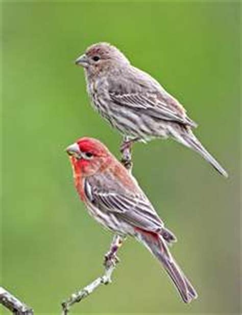 house finch male and female house finch backyard birds alabama pinterest