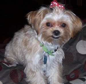 yorkie shih tzu mix learn about the yorkie shih tzu mix aka the shorkie zu dogable