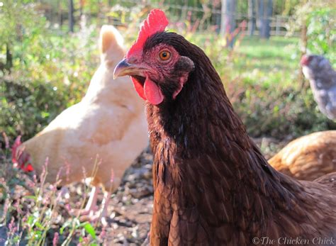 backyard rodents the chicken chick 174 15 tips to control rodents around chicken coops