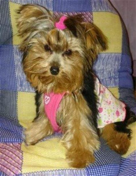 yorkie clothes for males vs yorkies terrier information