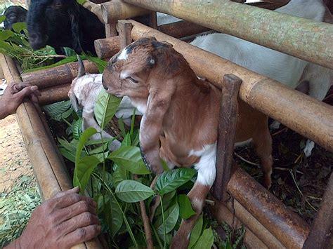 Ternak Kambing Pakan As Tahu ternak ayam terbaik pakan ternak kambing alternatif