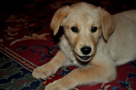 golden retriever and husky mix puppies for sale husky pitbull mix home types