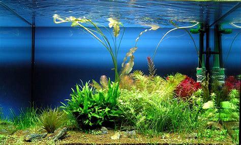 decoracion acuario las mejores algas para decorar tu acuario casero de peces