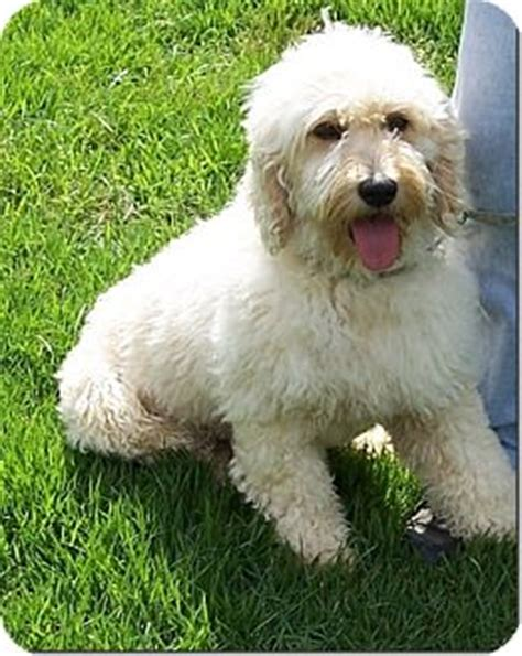 goldendoodle puppy ri adopted w warwick ri goldendoodle