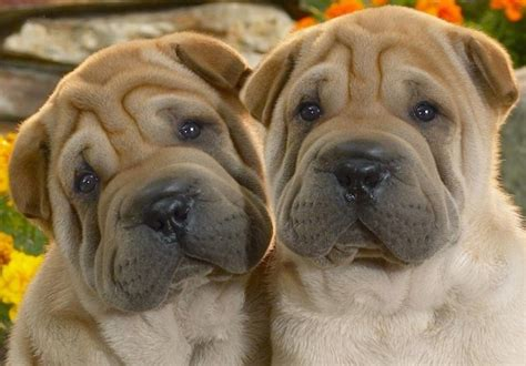 shar pei puppies shar pei breed information and images k9rl