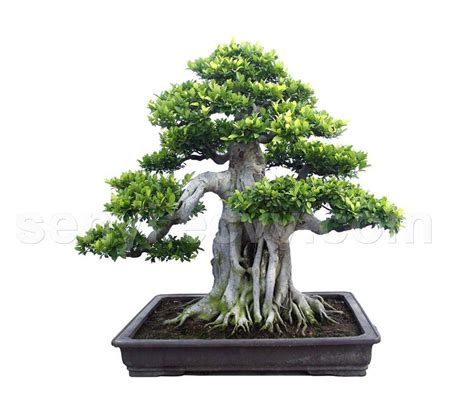 bonzi tree top unique bonsai trees gallery top unique bonsai trees