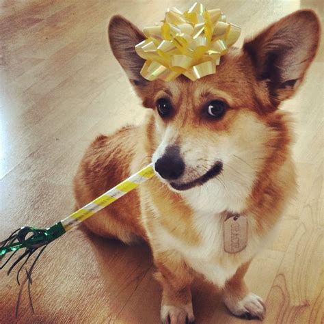 Corgi Birthday Meme - 95 best images about corgis in party hats on pinterest