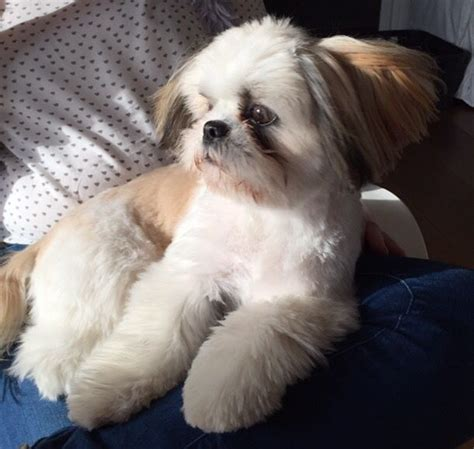 shih tzu constipation 1000 images about dogs and stuff on dachshund shih tzu and chihuahuas