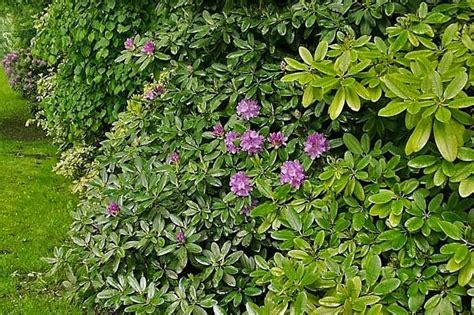 blühende büsche für garten hecke zaun idee