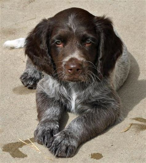 small munsterlander puppies for sale small mnsterlnder dogs puppies for sale breeds picture