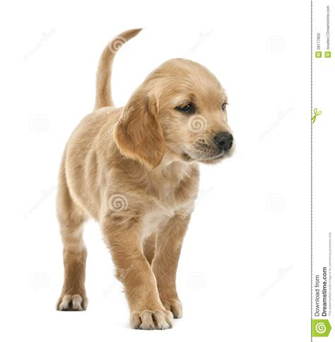 18 week golden retriever golden retriever puppy 7 weeks looking stock photography image 28177802