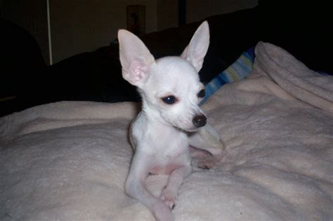 how much does a teacup puppy cost how much do teacup chihuahuas cost blurtit