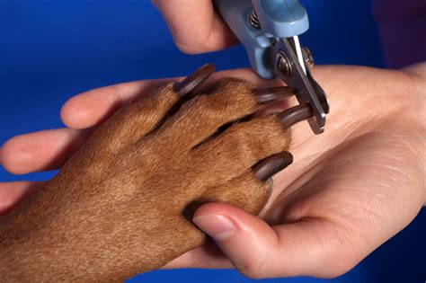 how to trim puppy nails how to clip your s nails safely