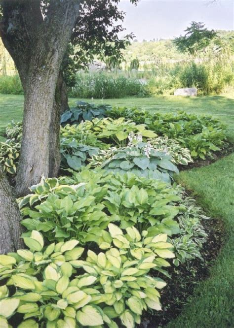 i love hostas great plant for shaded areas therese