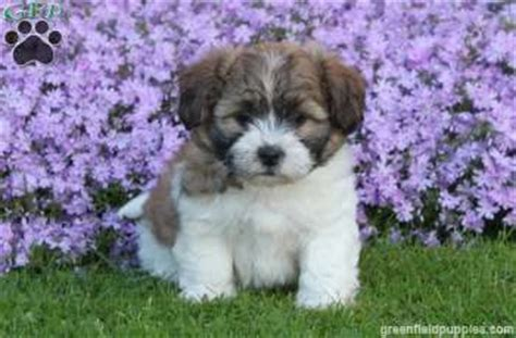 shichon puppies for sale in pa benjamin shichon puppy for sale from quarryville pa greenfield puppies