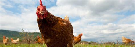 galline allevate in gabbia sodexo niente pi 249 uova da galline allevate in gabbia