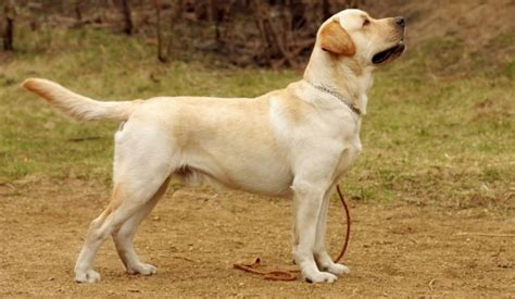 breeds in india breeds in india for puppy