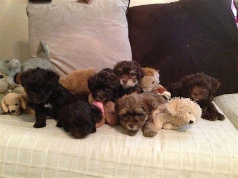 havanese stuffed animal as as a stuffed animal havanese puppies akc chocolate 1uponahavanese gmail