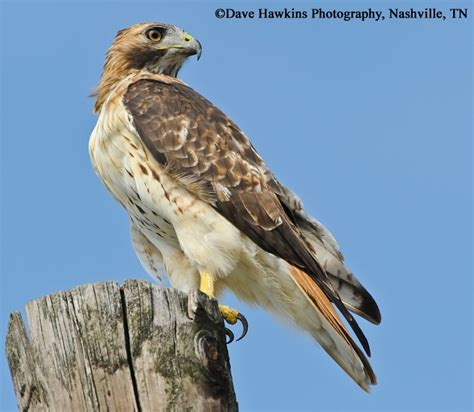 tennessee watchable wildlife red tailed hawk habitat 1