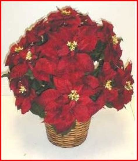 are poinsettias poisonous to dogs are poinsettias toxic to dogs and cats