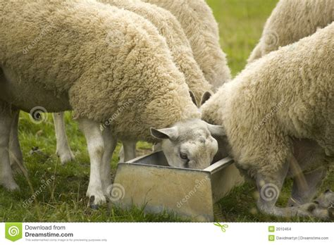alimentazione pecore alimentazione delle pecore immagini stock immagine 2010464