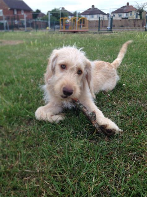 cheap labradoodle puppies for sale mini labradoodle puppy miniature labradoodle puppies greenford middlesex