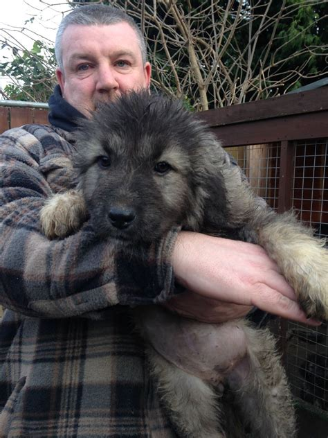 caucasian shepherd puppies for sale caucasian ovcharka puppies for sale ferryhill county durham pets4homes