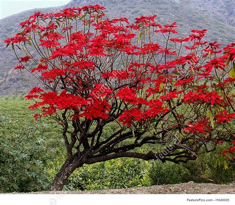 images of trees image of poinsettia tree