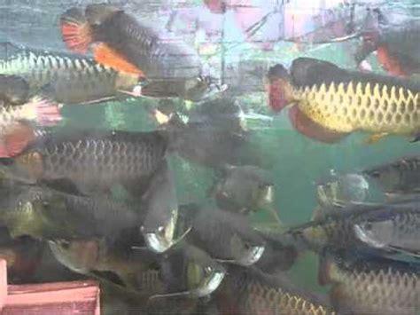 Anakan Arwana Banjar perkutut teratai ikan arwana golden induk