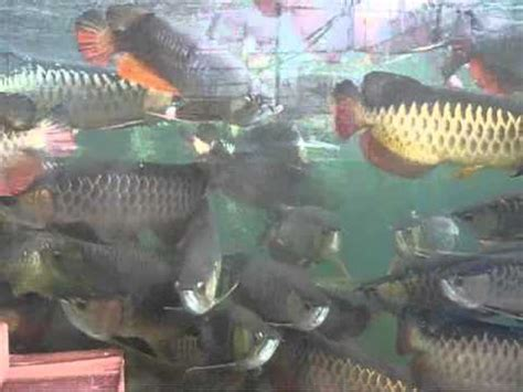 perkutut teratai ikan arwana golden induk