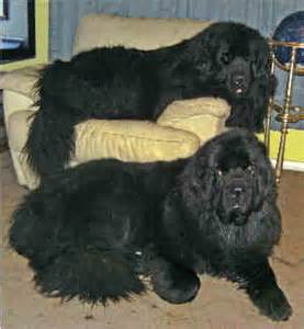 giant newfoundland dog