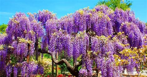 wisteria in japan mail2day 100 years beautiful wisteria in japan