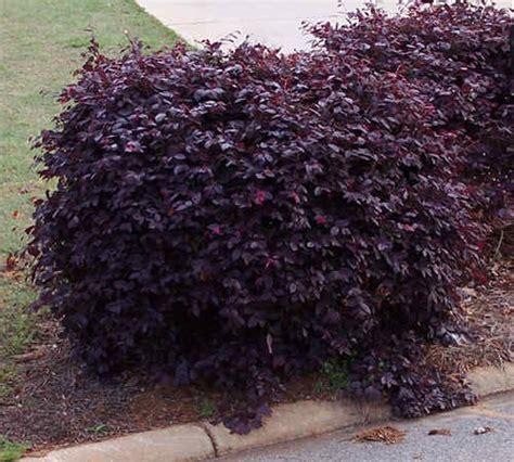 purple leaf plum hedge
