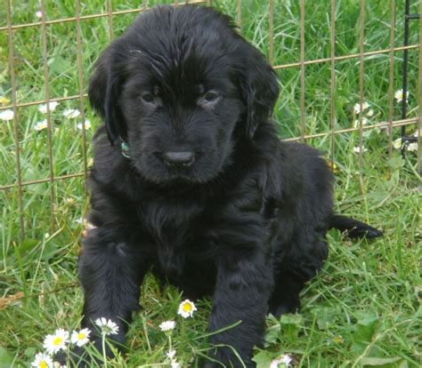 flat coated golden retriever puppies for sale pin flatcoated retriever valpar kennel reminds on