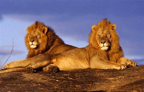 imagenes de leones felises fondo escritorio leones