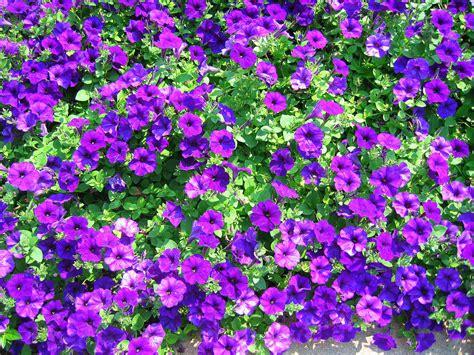 purple flower garden weekly photo challenge purple pat bean s blog