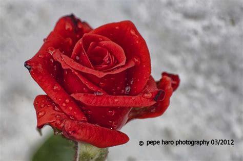 imagenes de rosas anaranjadas image gallery imagenes de una rosa