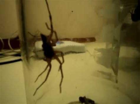 Garden Spider Vs Tarantula Black Widow Vs Garden Spider